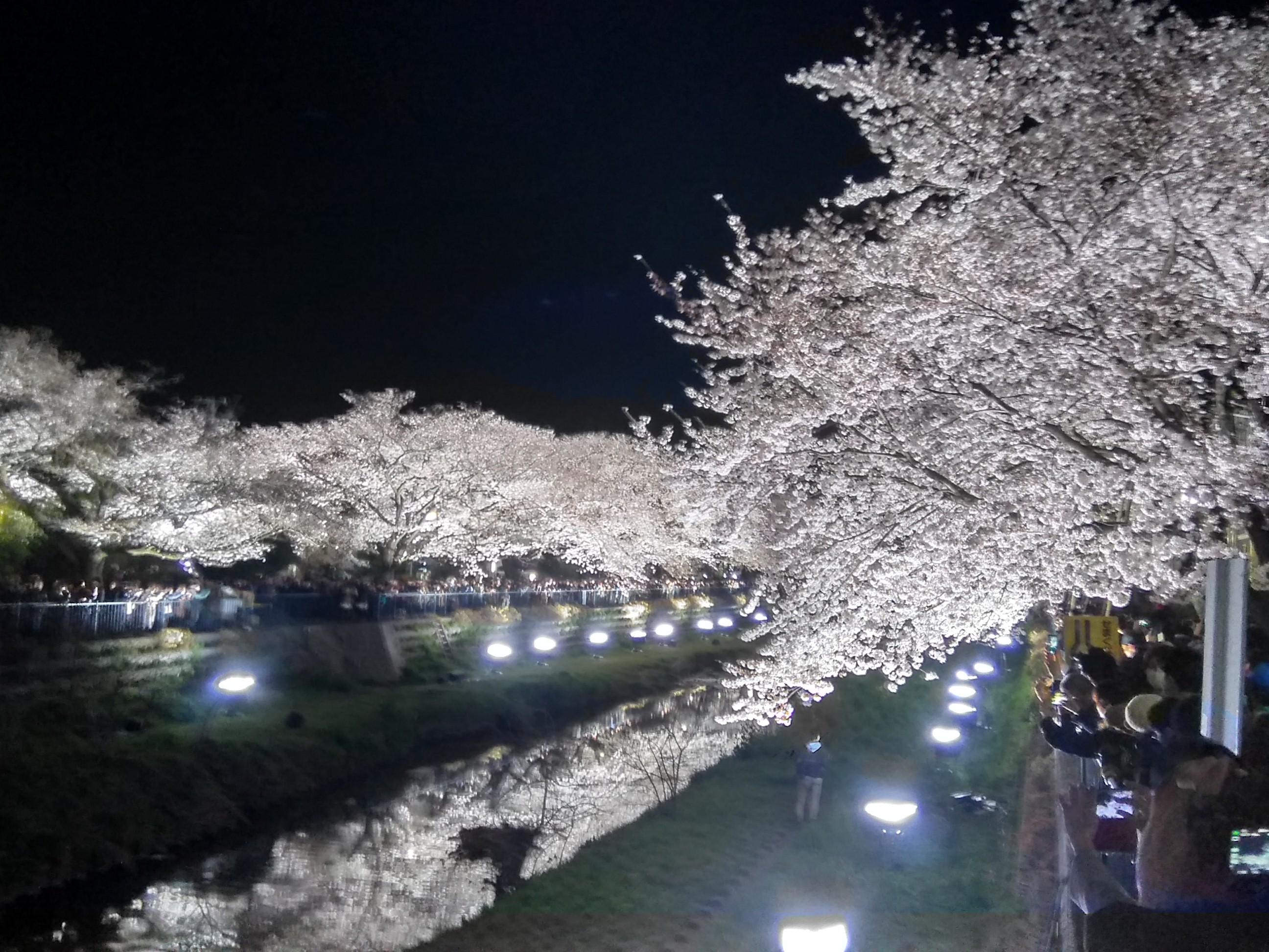 野川遊歩道の川に映る夜桜ライトアップ