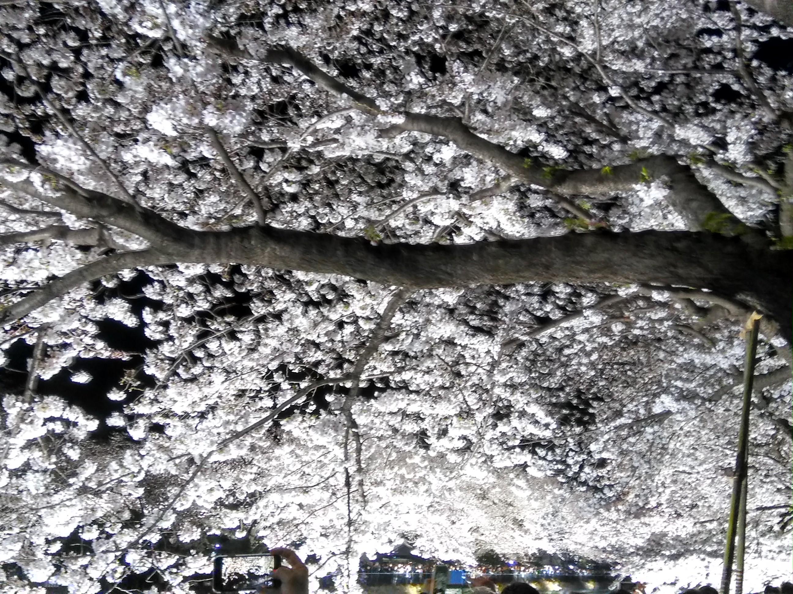 頭上には桜が広がっています