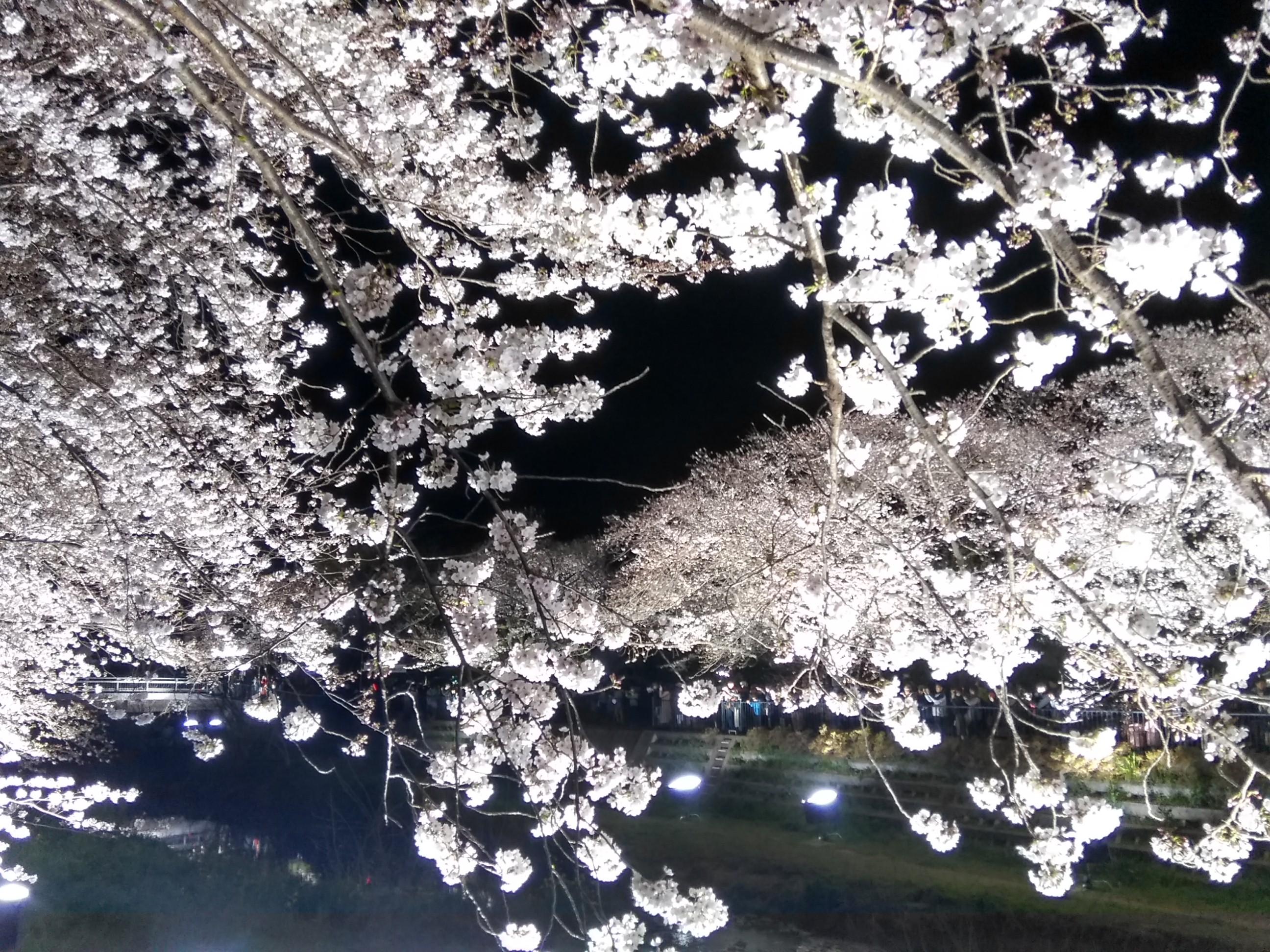 目の前の桜と対岸の桜がとてもキレイです